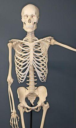 Human Skeleton squelette et les os