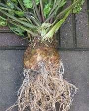 Ache : racines