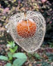 Fruit de l'alkekenge