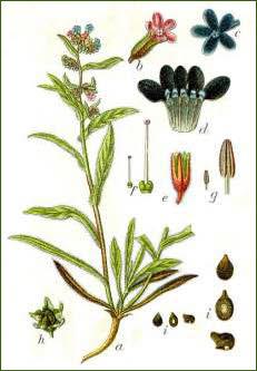 https://web.archive.org/web/20110705023606im_/https://www.bien-etre-naturel.info/buglosse.jpg