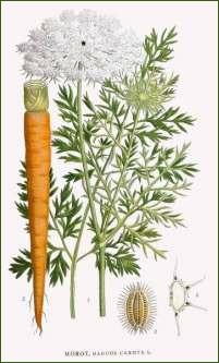 Planche de carotte