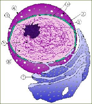 Schéma du noyau et du réticulum endoplasmique d'une cellule