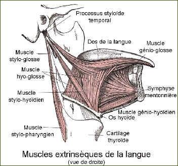 Muscles extrinsèques de la langue