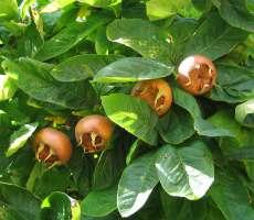 Feuilles et fruits du néflier