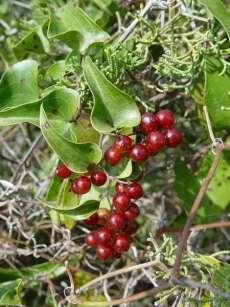 Fruits de la Salsepareille