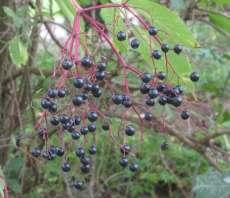 Fruits du Sureau noir