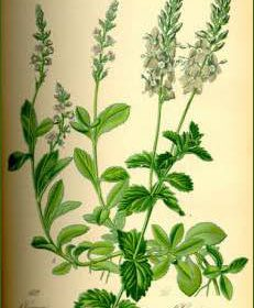 Véronique officinale