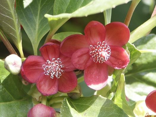 La schisandra plantes médicinales