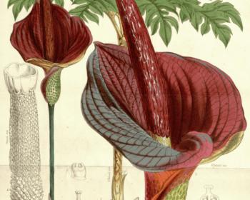 le konjac plante medicinale
